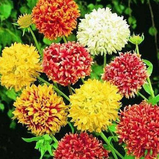 Gaillardia Double Mixed Color - Desi Flower Seeds - Nurserylive