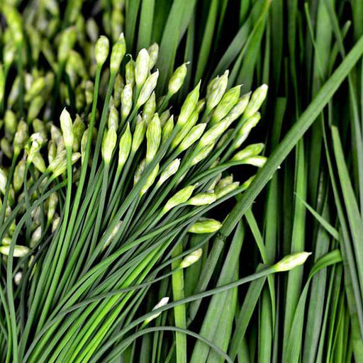 Garlic Chives - Herb Seeds - Nurserylive