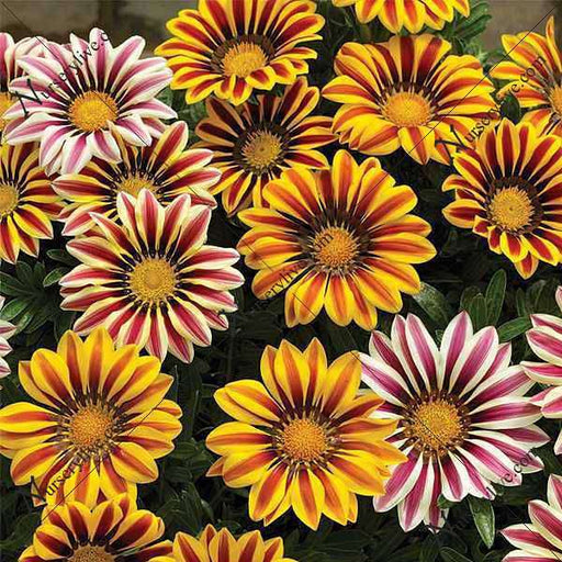 Gazania Hybrid Mixed Color - Flower Seeds - Nurserylive