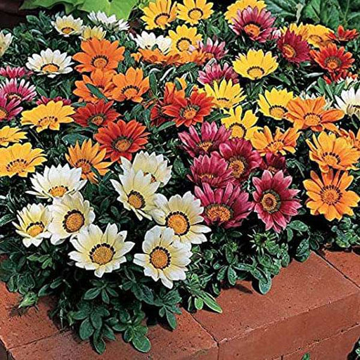 Gazania Sun Shine Mixed Color - Flower Seeds - Nurserylive