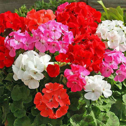 Geranium Pacific Mixed Color - Flower Seeds - Nurserylive