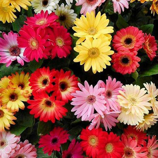 Gerbera Micro Mini Mixed Color - Flower Seeds - Nurserylive