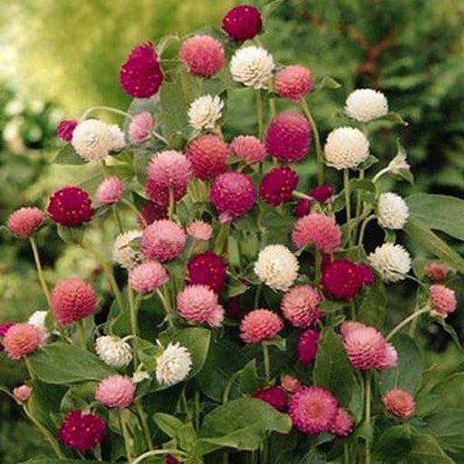 Gomphrena Mixed Color - Desi Flower Seeds - Nurserylive