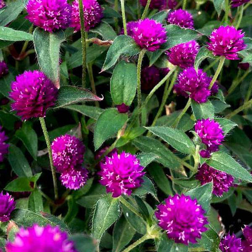 Gomphrena Purple - Desi Flower Seeds - Nurserylive