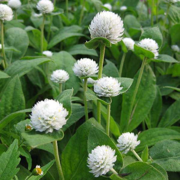 Gomphrena White - Desi Flower Seeds - Nurserylive