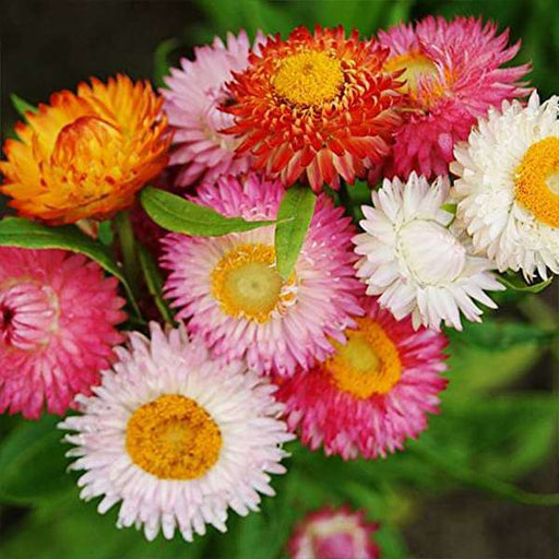 Helichrysum bracteatum Dwarf Mixed Color - Flower Seeds - Nurserylive