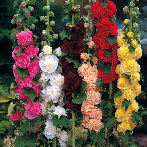 Hollyhock F1 Dwarf - Flower Seeds - Nurserylive