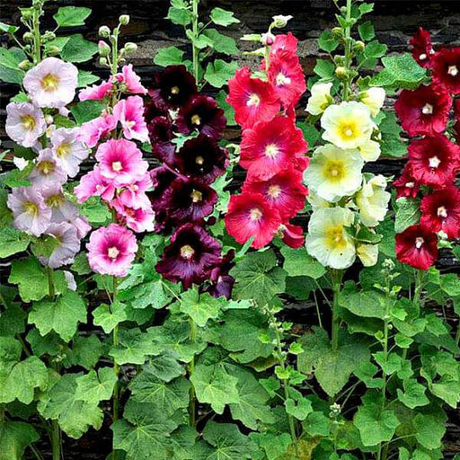 Hollyhock Mixed Color - Flower Seeds - Nurserylive