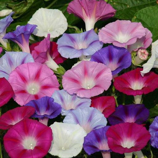 Ipomoea Mixed Color - Desi Flower Seeds - Nurserylive