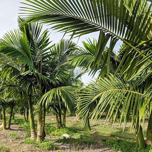 King Palm, Alexander palm - 0.5 kg Seeds - Nurserylive