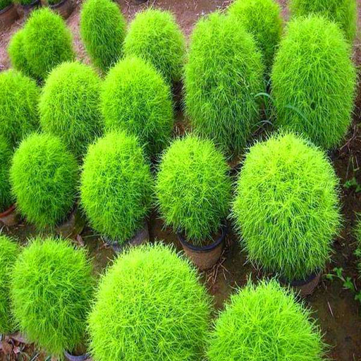 Kochia Plant, Burning Bush - Foliage Plant Seeds - Nurserylive