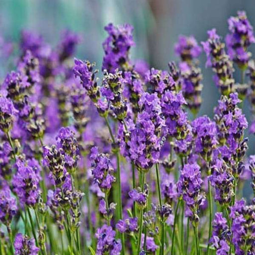 Lavender - Flower Seeds - Nurserylive