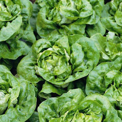 Lettuce Butter Crunch - Organic Vegetable Seeds - Nurserylive
