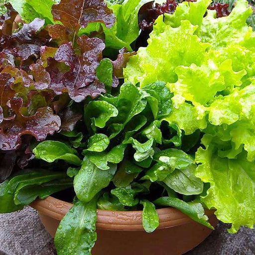 Lettuce Misticanza - Vegetable Seeds - Nurserylive