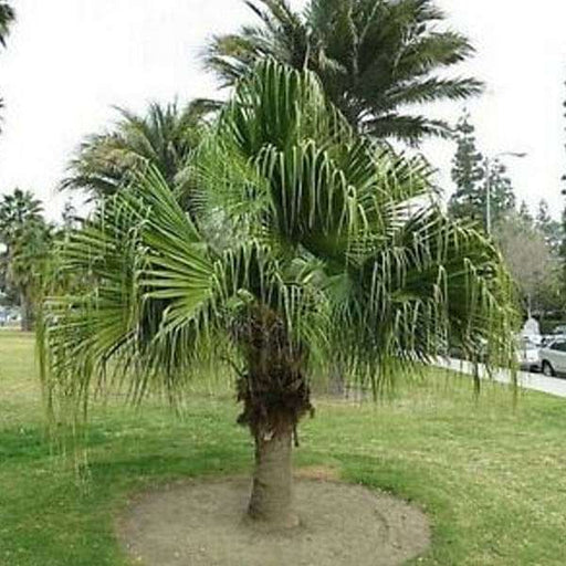 Livistona Chinensis, Fountain Palm - 0.5 kg Seeds - Nurserylive
