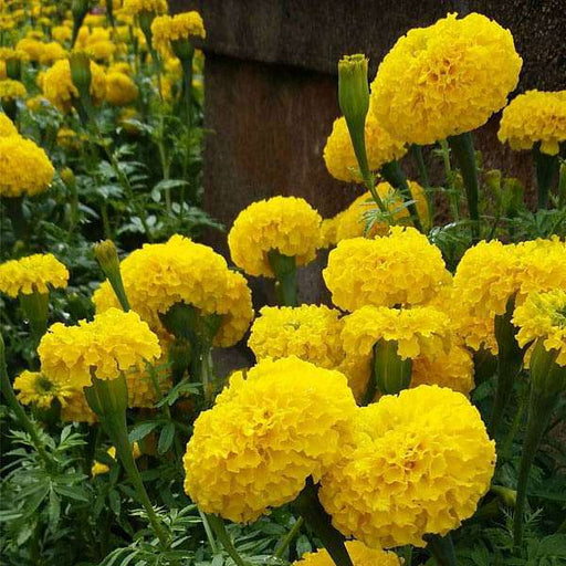 Marigold F-1 Inca Yellow - Flower Seeds - Nurserylive