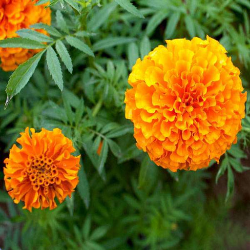 Marigold F-2 Orange Dwarf Double - Flower Seeds - Nurserylive