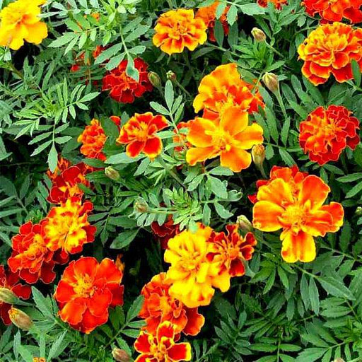 Marigold French Royal - Flower Seeds - Nurserylive