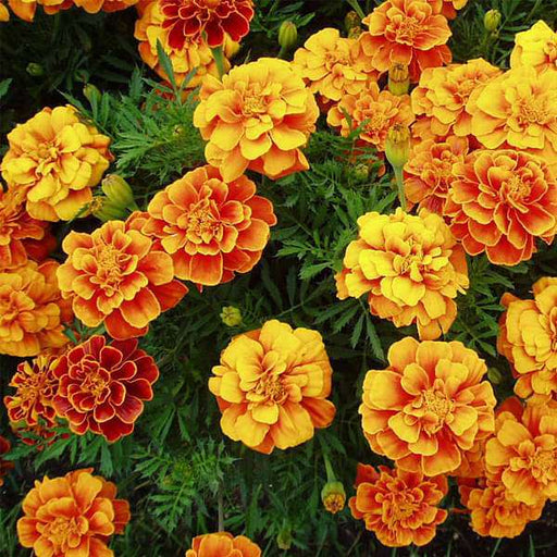 Marigold Guljafri Mixed Color - Desi Flower Seeds - Nurserylive