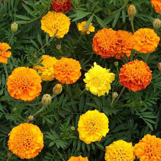 Marigold Mixed Color - Desi Flower Seeds - Nurserylive
