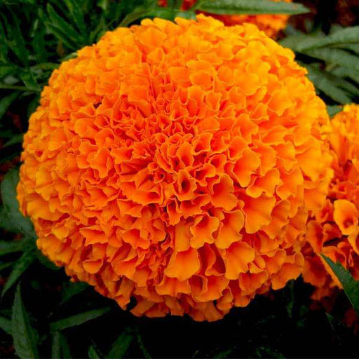 Marigold Perfection Orange - Flower Seeds - Nurserylive