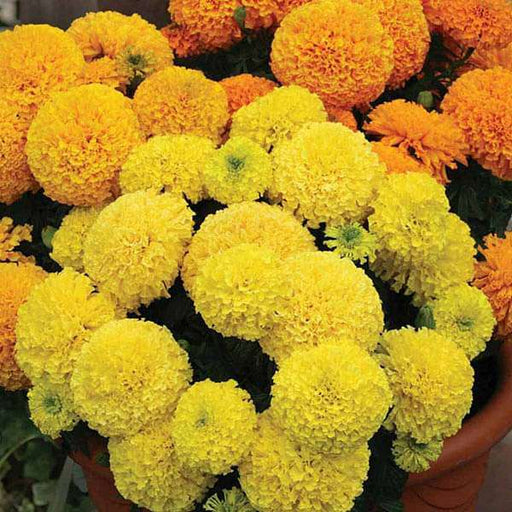 Marigold Rodeo Royal Mixed Colors - Flower Seeds - Nurserylive