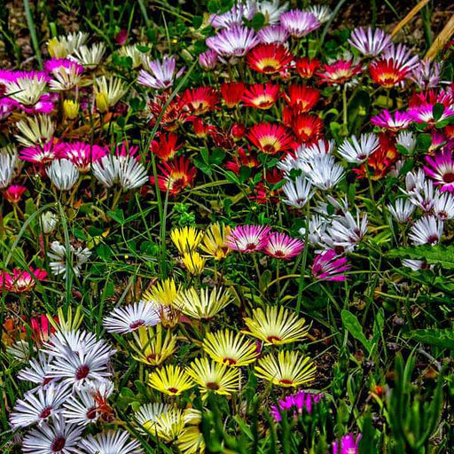 Mesembryanthemum, Ice Plant Mixed Color - Flower Seeds - Nurserylive