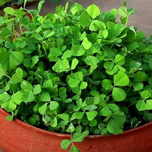 Methi Bombay Wali - Desi Vegetable Seeds - Nurserylive