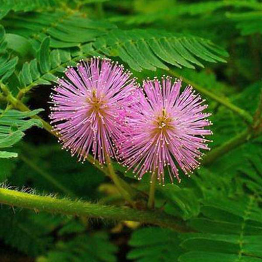Mimosa, Touch Me Not - Flower Seeds - Nurserylive
