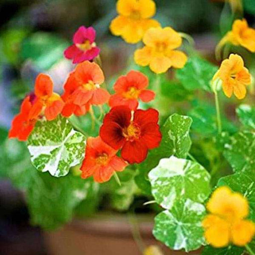 Nasturtium Variegated - Flower Seeds - Nurserylive