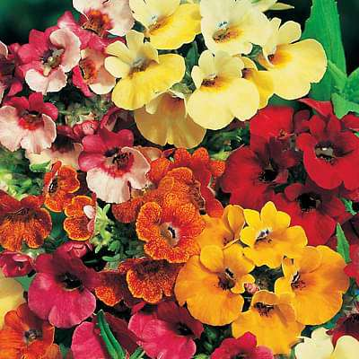 Nemesia Carnival Mixed Color - Flower Seeds - Nurserylive