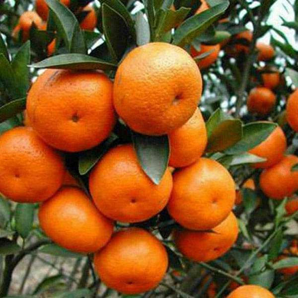 Buy Orange, Santra - 0.5 kg Seeds online from Nurserylive at lowest price.