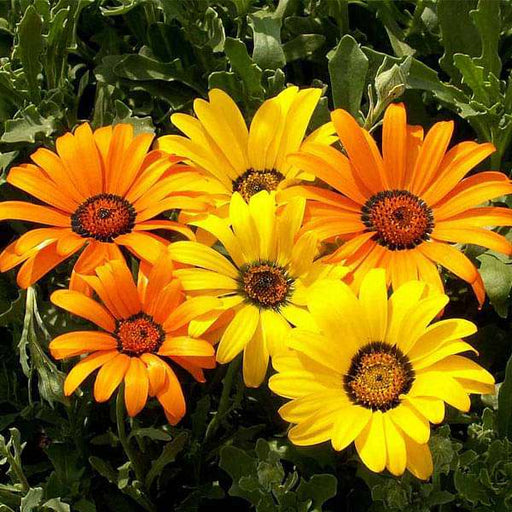 Osteospermum, Dimorphotheca Mixed Color - Flower Seeds - Nurserylive