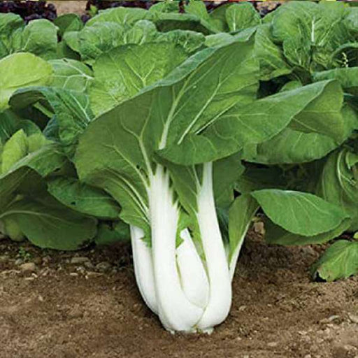 Pak Choy - Vegetable Seeds - Nurserylive