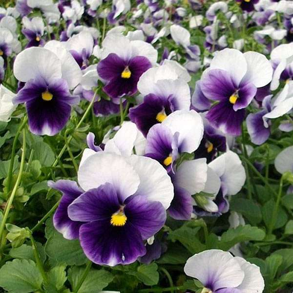 Buy Pansy F1 Beconsfield Flower Seeds Online From Nurserylive At Lowest Price
