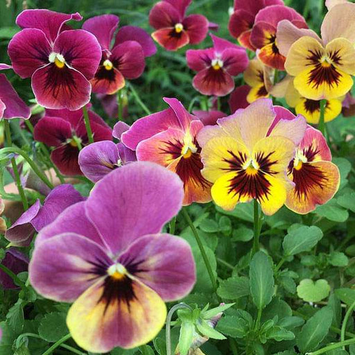 Pansy F1 Blotch Mixed Color - Flower Seeds - Nurserylive