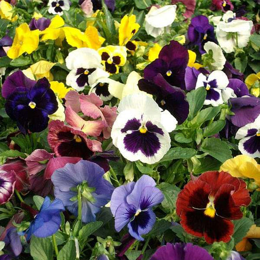 Pansy F1 Swiss Giant - Flower Seeds - Nurserylive
