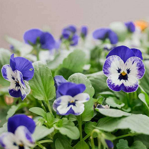 Pansy F1 Violet-White Blotch - Flower Seeds - Nurserylive