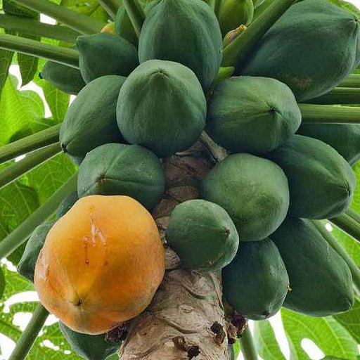 Papaya Farm Improved - Desi Fruit Seeds - Nurserylive