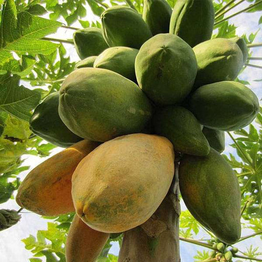 Papaya Selection I - Fruit Seeds - Nurserylive