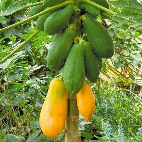 Buy Papaya Shah Nanah - Fruit Seeds online from Nurserylive at lowest price.