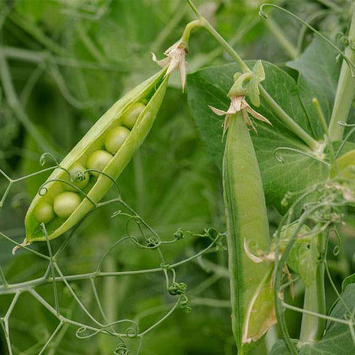 Peas Arkel - Desi Vegetable Seeds - Nurserylive