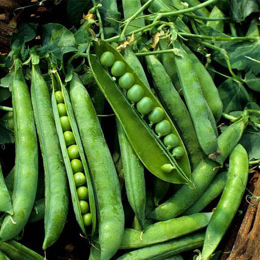 Peas Azad P1 - Desi Vegetable Seeds - Nurserylive