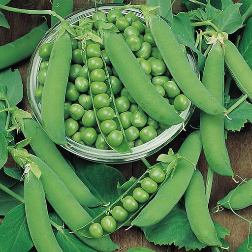 Peas PV 10 - Desi Vegetable Seeds - Nurserylive