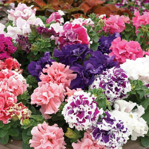 Petunia Glorious Double Mixed Color - Flower Seeds - Nurserylive
