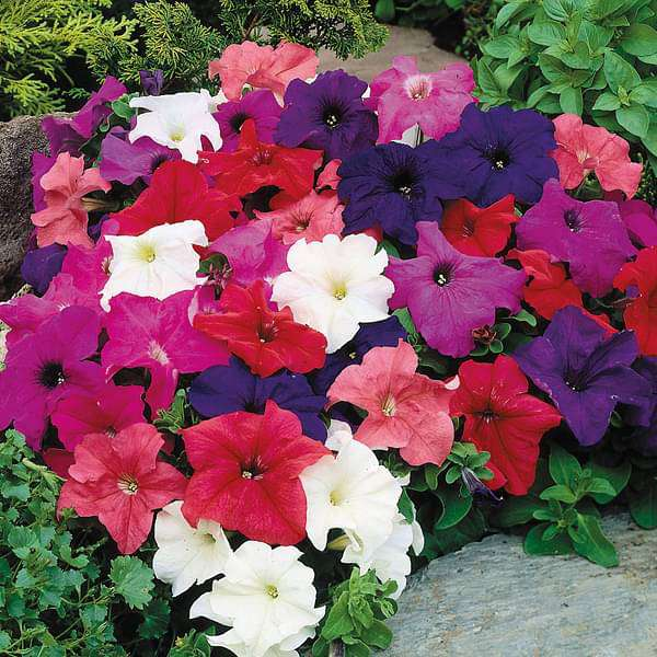 Petunia grandiflora Mixed Color - Flower Seeds - Nurserylive