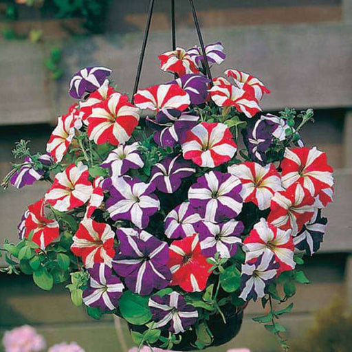 Petunia Ultra Star - Flower Seeds - Nurserylive