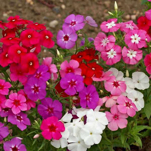 Phlox Beauty Mixed Color - Flower Seeds - Nurserylive