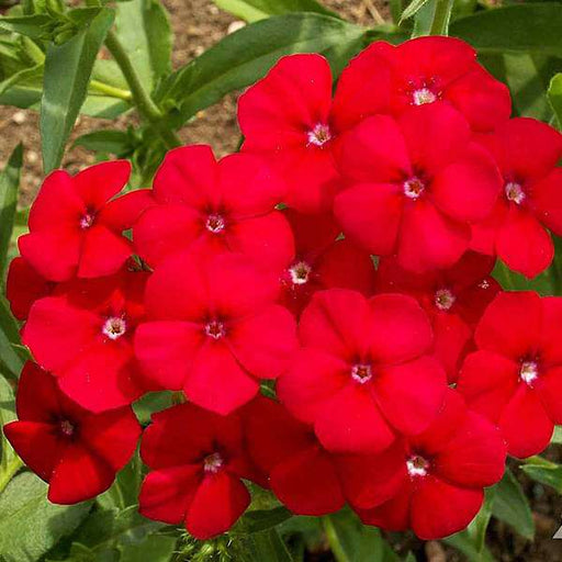 Phlox Beauty Red - Flower Seeds - Nurserylive