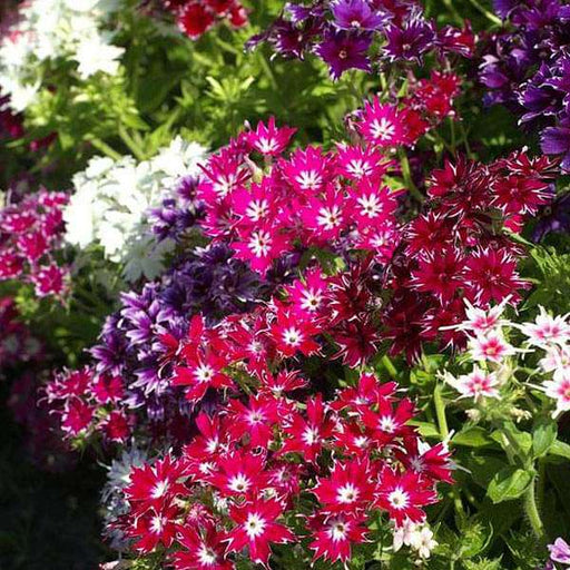 Phlox Twinkle Star Mixed Color - Flower Seeds - Nurserylive